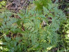 Conium maculatum - TÒXIC