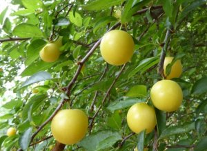 prunes-red