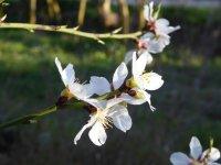 Un jove ametller: les primeres flors de la seva vida